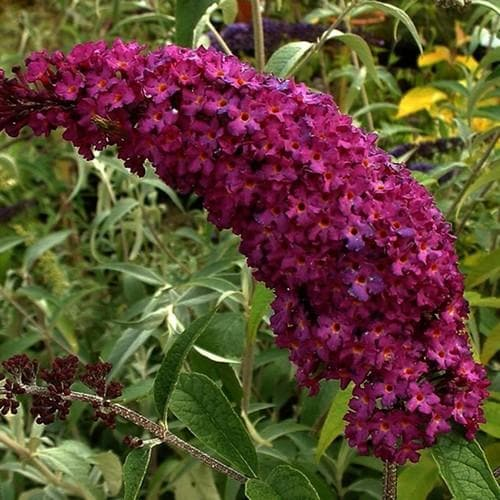 Buddleia davidii Royal Red - Future Forests