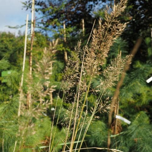 Calamagrostis arundinacea syn. brachytricha - Future Forests