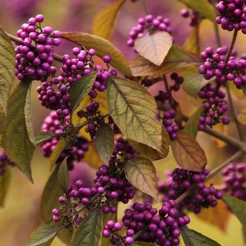 Callicarpa bodinieri Profusion - Future Forests