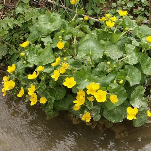 Caltha palustris - Future Forests