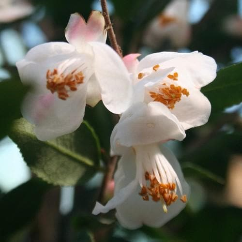 Camellia rosthorniana - Future Forests