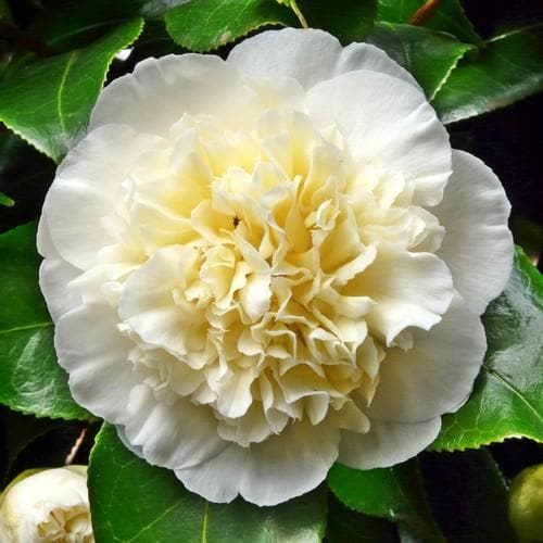 Camellia Brushfield Yellow - Future Forests