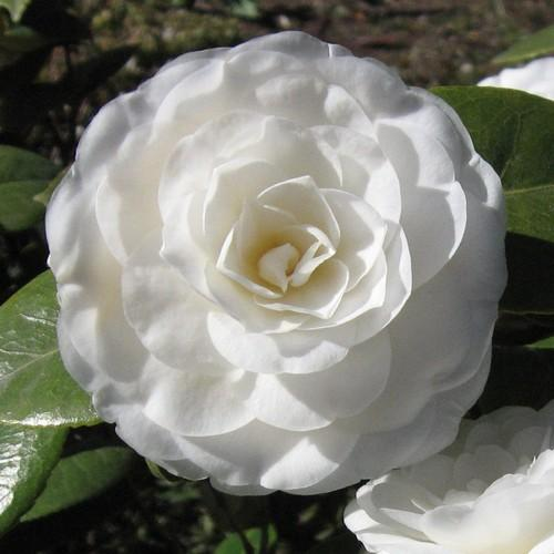 Camellia Mathotiana Alba - Future Forests