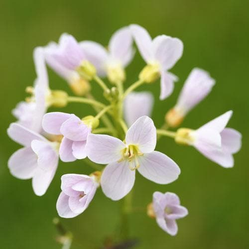 Cardamine pratensis - Future Forests