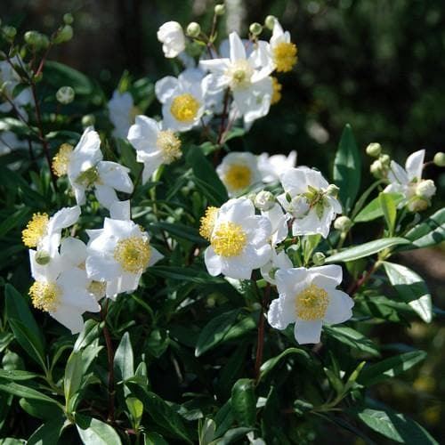 Carpenteria californica - Future Forests