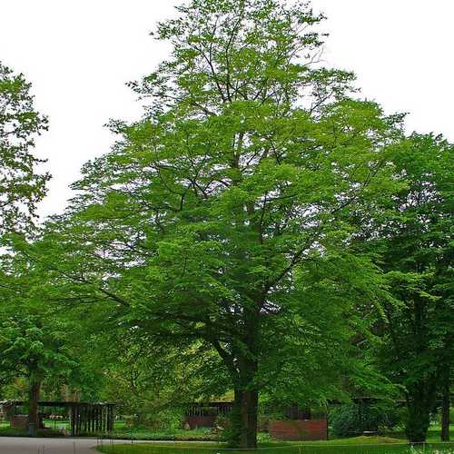 Carpinus betulus - Hornbeam - Future Forests