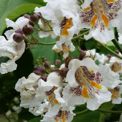 Catalpa bignonioides - Future Forests