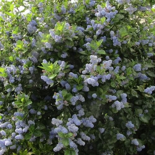 Ceanothus Trewithen Blue - Future Forests