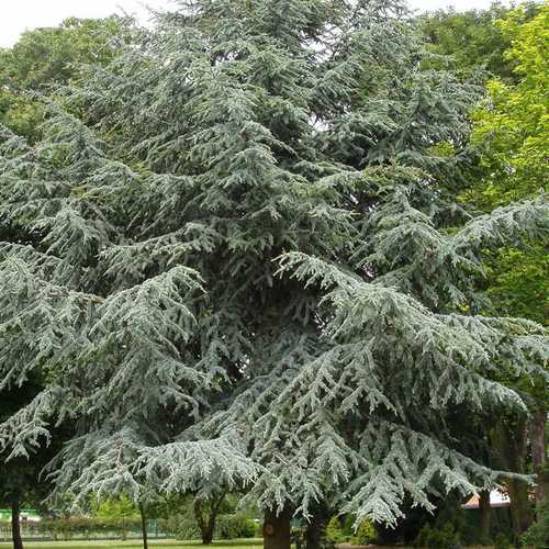 Cedrus atlantica - Atlas Cedar - Future Forests