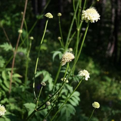 Cephalaria gigantea - Future Forests