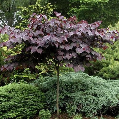 Cercis canadensis Forest Pansy - Future Forests