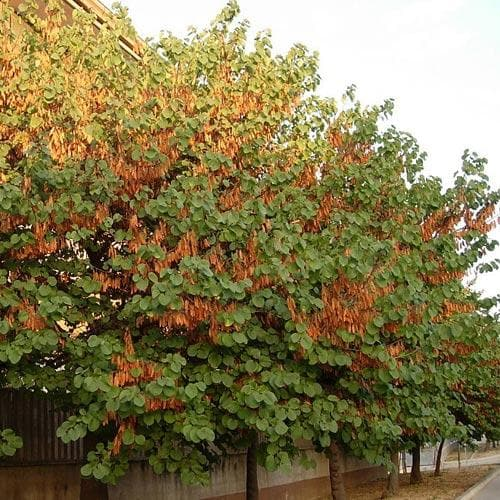 Cercis siliquastrum - Future Forests