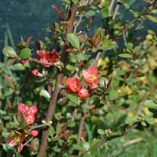 Chaenomeles japonica - Future Forests