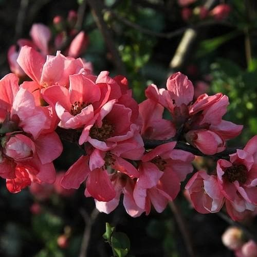 Chaenomeles x superba Pink Lady - Future Forests