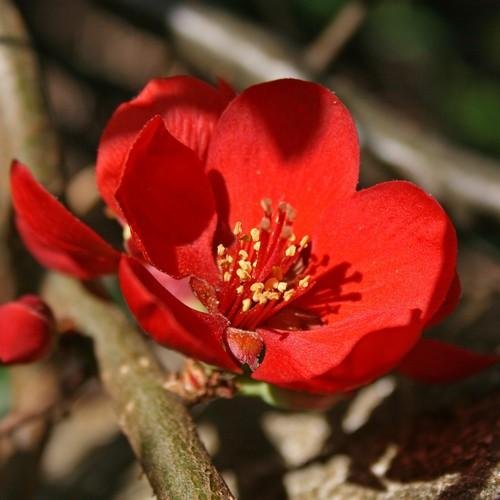 Chaenomeles x superba Crimson and Gold