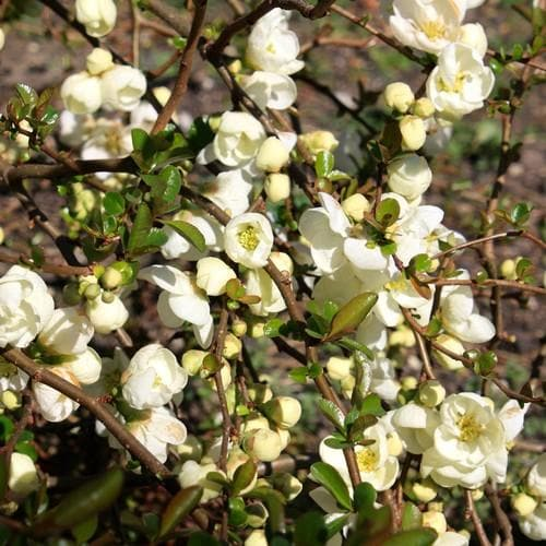 Chaenomeles x superba Jet Trail - Future Forests