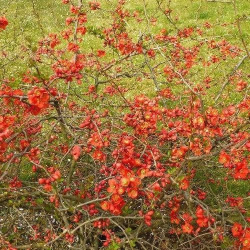 Chaenomeles x superba Nicoline - Future Forests