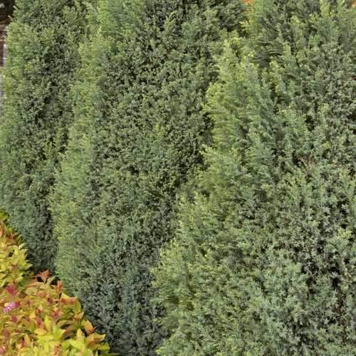 Chamaecyparis lawsoniana Snow White - Future Forests