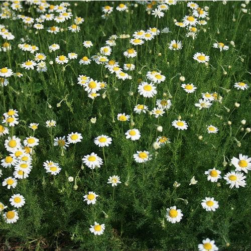 Chamomile, Roman - Future Forests