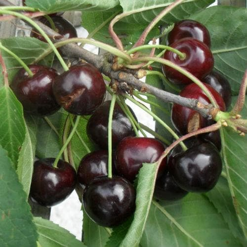 Cherry Early Rivers - Future Forests