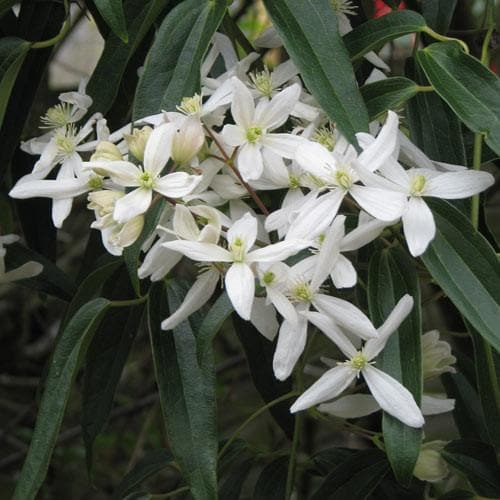 Clematis Armandii - Future Forests