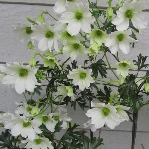 Clematis Early Sensation - Future Forests