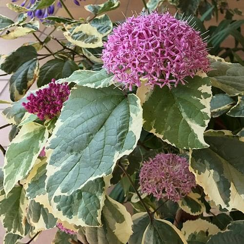 Clerodendrum bungei Pink Diamond
