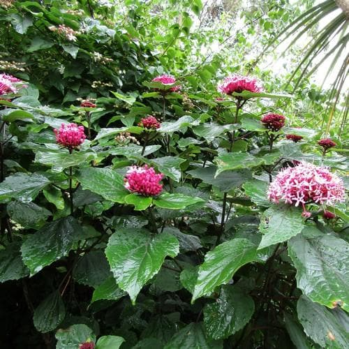 Clerodendrum bungei - Future Forests