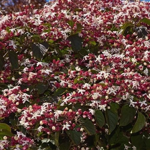 Clerodendrum trichotomum Purple Blaze - Future Forests