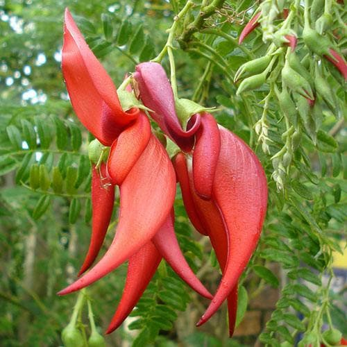 Clianthus  puniceus - Future Forests