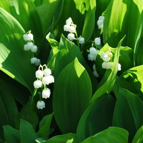Convallaria majalis - Lily of The Valley - Future Forests
