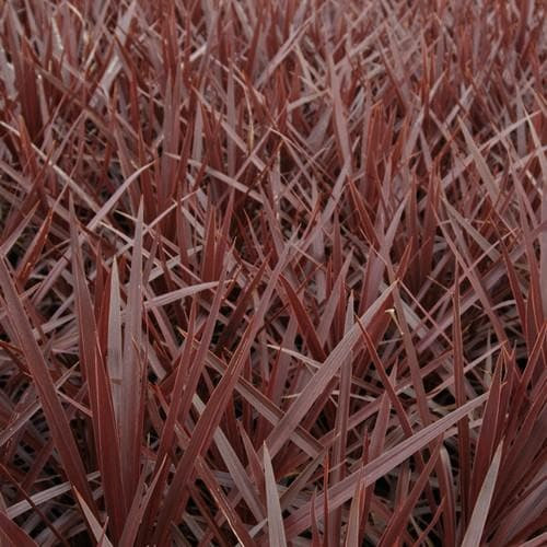 Cordyline Red Star - Future Forests
