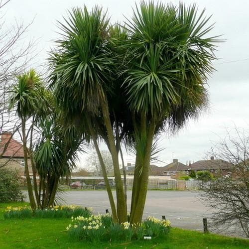 Cordyline australis - Future Forests