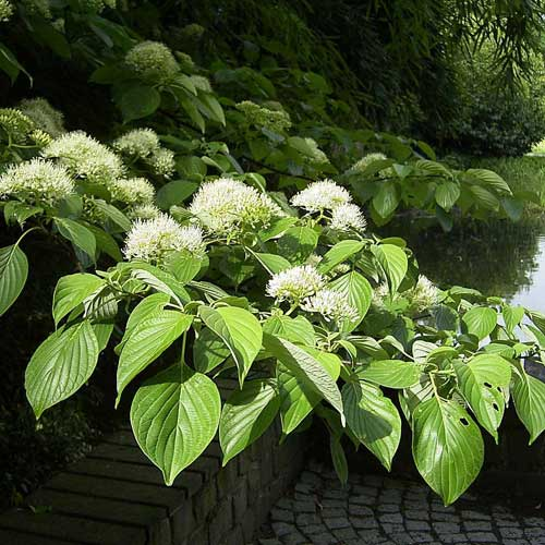 Cornus controversa - Wedding Cake Tree (Green Foliage)