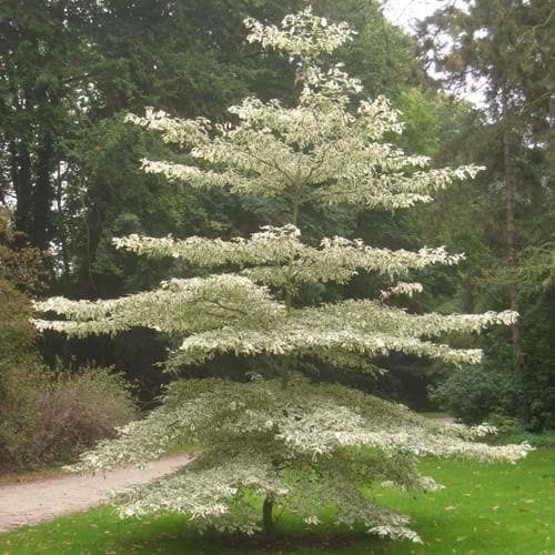 Cornus Controversa Variegata Wedding Cake Tree Future Forests