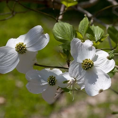 Cornus florida - Future Forests