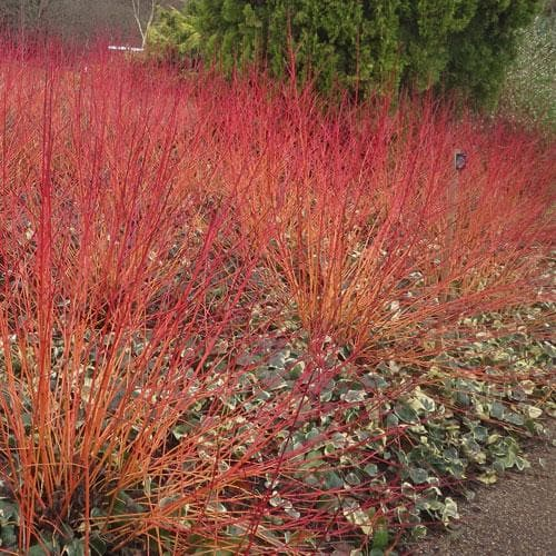 Cornus sanguinea Anny's Winter Orange - Future Forests
