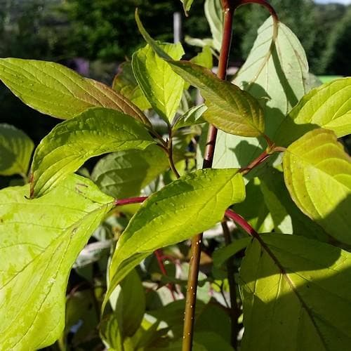 Cornus alba Aurea - Future Forests