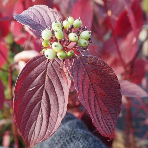 Cornus alba Siberica - Future Forests