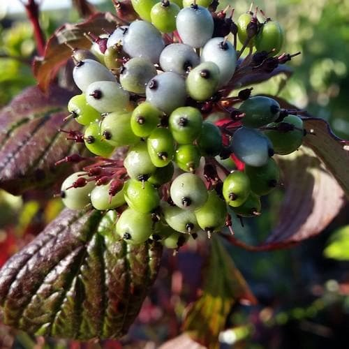Cornus alba Siberian Pearls - Future Forests
