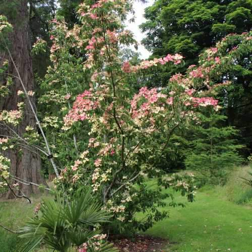 Cornus capitata Kilmacuragh Rose - Future Forests