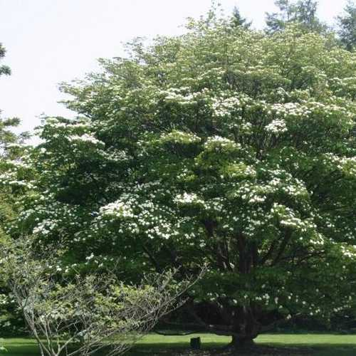 Cornus Kousa - Future Forests