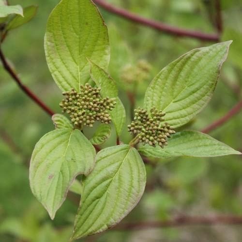 Cornus sanguinea - Future Forests
