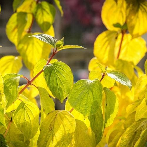 Cornus sanguinea Magic Flame - Future Forests