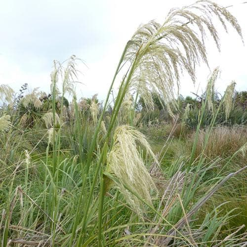 Cortaderia richardii - Future Forests