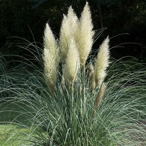 Cortaderia selloana - Future Forests