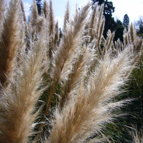 Cortaderia selloana pumila - Future Forests