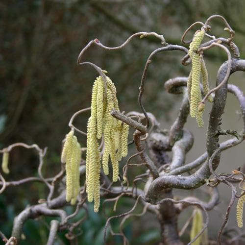 Corylus avellana Contorta - Future Forests