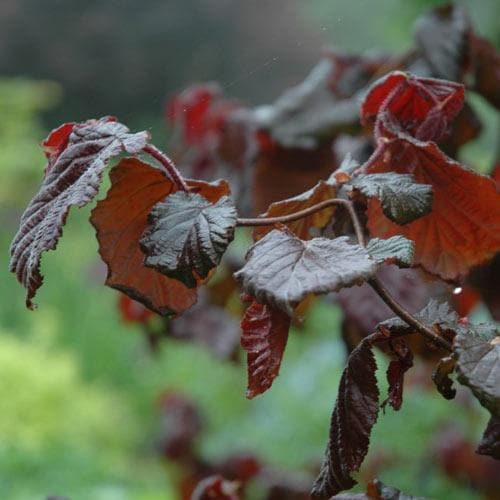 Corylus avellana Red Majestic - Future Forests