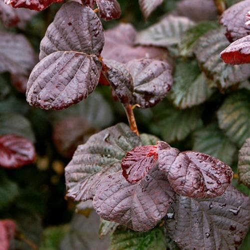 Corylus avellana Anny's Purple Dream - Future Forests